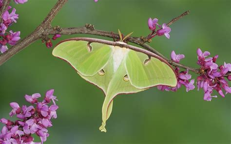 2 Luna Moth HD Wallpapers | Backgrounds - Wallpaper Abyss