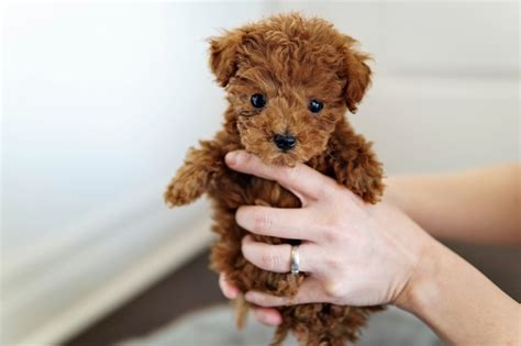 Teacup Poodle Puppies FOR SALE ADOPTION from los angeles