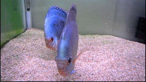 Discus Solid Turquoise Stendker pair